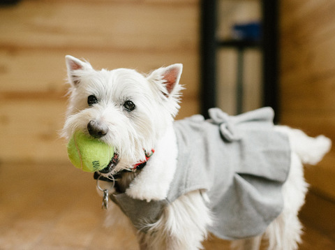 West Highland Terrier dog ring bearer clothes with tennis ball Meadow Barn wedding